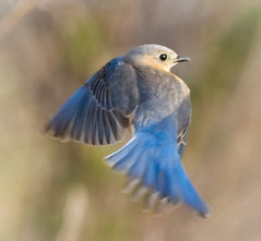 Defending her nest (tresed47) Tags: 2018 201804apr 20180412bombayhookbirds april birds bluebird bombayhook canon7d content delaware folder peterscamera petersphotos places season spring takenby us