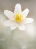 Anemone nemorosa (de_frakke) Tags: bloem flower anemonen biosanemoon wit white natuur bos nature wood spring lente