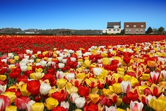 IF8A1343_a (cwhilbun) Tags: holland tulips spring lisse netherlands