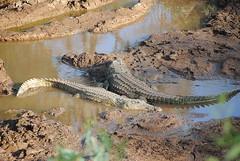 Нильский крокодил, Crocodylus niloticus, Nile crocodile (Oleg Nomad) Tags: нильскийкрокодил crocodylusniloticus nilecrocodile африка кения самбуру сафари животные природа africa kenya samburu animals nature travel