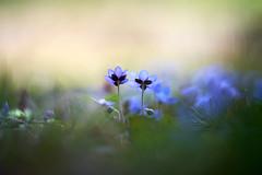 Together Alone (matt.kueh) Tags: flower plant blume liverwort liverleaf kidneywort hepatica leberblümchen spring frühling bokeh bokehlicious vintagelens manualfocus m42 depthoffield helios40285mmf15 sonyilce7m2 sonya7ii