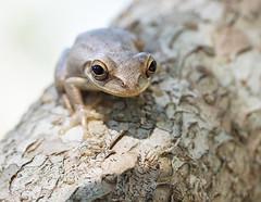 sticky tree frog (marianna_a.) Tags: p2080206 peeper tree frog amphibian cute smiling mariannaarmata flamingogardens florida