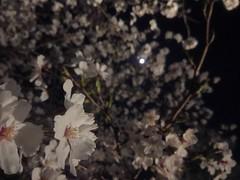 Kyoto - Lunatic blossoms (tcchang0825) Tags: japan kyoto cherryblossom sakura lightup moon
