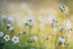 Bokehlicious (michel1276) Tags: helios helios402 russianlens manualfocus manuell flowers blumen steinbrech bokeh bokehlicious bokehful bokehlove
