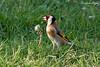 Chardonneret élégant (Carduelis carduelis) 19-04-2018 (6) (Ezzo33) Tags: france gironde nouvelleaquitaine bordeaux ezzo33 nammour ezzat sony rx10m3 parc jardin oiseau oiseaux bird birds european goldfinch chardonneret élégant carduelis specanimal