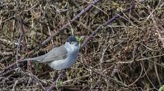 9Q6A9569 (2) (Alinbidford) Tags: alancurtis alinbidford blackcap brandonmarsh nature wildbirds wildlife
