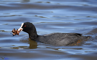 Coot (with nesting material).