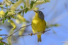 Nashville Warbler (jt893x) Tags: 150600mm bird d500 jt893x nashvillewarbler nikon nikond500 oreothlypisruficapilla sigma sigma150600mmf563dgoshsms songbird warbler thesunshinegroup coth5