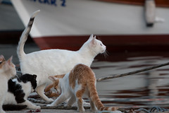 Next one's mine! (Anthony P.26) Tags: category erdek kapidag places travel turkey canon70d canon tamron70200g2 harbour cats animals streetanimals feeding food boat water fish patient expectation waiting