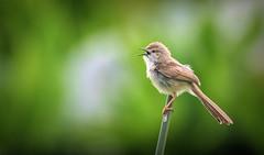 The singer (peterteuschel) Tags: vae bird