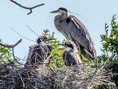 Noisy Nestmates (Wes Iversen) Tags: brighton clichesaturday greatblueheron hcs kensingtonmetropark michigan milford tamron150600mm babies birds juveniles nature nests rookery trees ardeaherodias