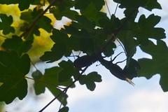 Vliegend hert (Lucanus cervus)   vechtende mannetjes (Frank Berbers) Tags: vliegendhert lucanuscervus hertkever grootvliegendhert insect insecta coleoptera coléoptères kever scarabaeiformia lucanidae hirschkäfer käfer schröter donnergugi feuerschröter hornschröter stagbeetle beetle longhornbeetle iucnredlist drôme die frankrijk frankreich france auvergnerhônealpes ♂