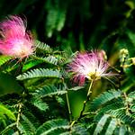Silk Tree (Albizia julibrissin) in Yokohama Zoological Gardens : ネムノキ(合歓木) thumbnail