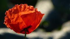 Poppy, still with birth wrinkles (joeke pieters) Tags: 1400899 panasonicdmcfz150 klaproos papaver poppy klatschmohn bloem flower bokeh