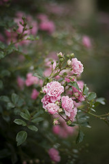 Roses (A blond-Tess) Tags: roses pinkrose wildflowers garden flowersplants flowers delicate bokeh smoothbokeh beyondbokeh 50mm canon50mm canonphotography plants flora nature outdoorphotography shallowdof usingshallowdof dailychallenge dailyphotochallenge 365photochallenge