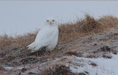 Snowy Owl (Daniel Behm Photography) Tags: snowyowl owl snow barrow alaska tundra arctic danielbehm behm