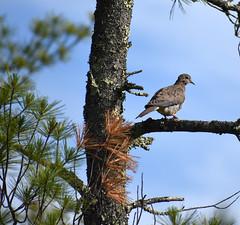 Mourning dove (Dakota Maxwell) Tags: bird birdphotography birding birdnerd wildlife wildlifephotography mourningdove dove amherst newhampshire ponemahbog