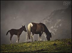 Caballos/ Horses (Jose Antonio. 62) Tags: spain españa asturias horses caballos naturaleza nature