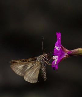 Resting Silver Y Moth
