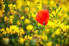 Poppy (anderswetterstam) Tags: flowers nature blossom red flora floral botanical poppy field summertime summer july