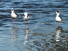 Black-winged Stilts (AdamsWife) Tags: westernaustralia stilts blackwingedstilts bird birds birdlife birdwatching water
