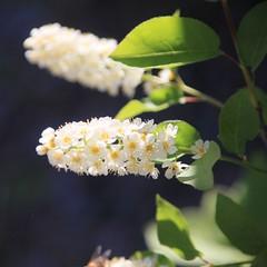 IMG_4044 (2) (rolfjanove) Tags: sweden nature garden flower canon eos 5dmkll tamron 28300 rolfjanove