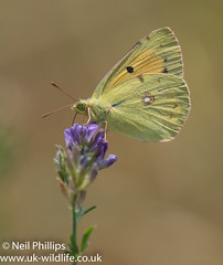 Clouded yellow (Neil Phillips) Tags: cloudedyellow coliadinae colias insecta papilionoidea pieridae arthropod arthropoda bug butterfly clouded croceus helice hexapod immigrant insect invertebrate yellow