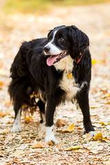 An Autumnal Portrait in July (Captain192) Tags: dog dogs collie spaniel bordercollie spanielcolliecross sprollie bagworth bagworthheath nationalforest leicestershire leaves manualfocus nikon nikon105mmf25ais