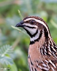 Rain Quail (mathewindelhi) Tags: rain quail blackbreasted portrait bird birds wild wildlife nature haryana delhi