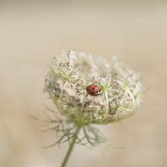 Dentelle et coccinelle *** (Titole) Tags: squareformat titole nicolefaton coccinelle ladybug ladybird queenanneslace carottesauvage white shallowdof friendlychallenges unanimouswinner thechallengefactory