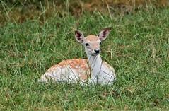 Waiting for Mum. (pstone646) Tags: deer animal wildlife nature mammal fawn young fauna grass