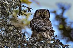 Northern Hawk Owl (jt893x) Tags: 150600mm bird d500 jt893x nikon nikond500 northernhawkowl owl raptor sigma sigma150600mmf563dgoshsms surniaulula thesunshinegroup coth alittlebeauty coth5 sunrays5