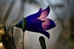 Au pays des fées (David Bertholle) Tags: fée fairy conte fleur flower macro makro nature ngc magic magie sigma dream rêve d7200 dof bokeh contrejour matin lumière light