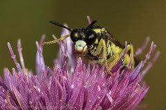 Wasp (paulflynn) Tags: macro wasp insects nature