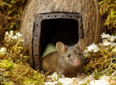 George the mouse in a log pile house (4) (Simon Dell Photography) Tags: house mouse log pile door coconut mossy moss logs wood stack garden wild wildlife cute funny detail close up awesome viral ears eyes george mini mildred sheffield s12 hackenthorpe decorated summer images mice two mouses animals rodents