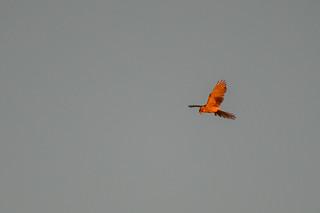 Kestrel - in the last of the evening light