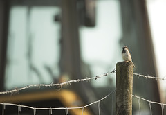 House Sparrow (Benjamin Joseph Andrew) Tags: bird passerine songbird farm farmland farming agriculture building garden home urban sitting perching summer machinery vehicle