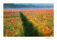 Summer Fields (George-Edwards) Tags: landscape poppies poppy field red wild flower farm land crop corn wheat barley path track sunrise dawn daybreak morning summer seasons mist fog hedgerow tree rural countryside outdoor nature wildlife midsummer golden sun light shadow pangvalley vale river berkshire england georgeedwards