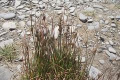 Juncus tenuis (Slender Rush), habit, Afon Ystwyth, Ceredigion, 29.6.18 (respect_all_plants) Tags: slenderrush juncustenuis aberystwyth traethtanybwlch afonystwyth ceredigion coastpath wildflowers rushes
