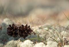 Two (Jutta Sund) Tags: cone pinecone lichen dof bokeh forest