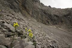 Linaria tonzigii (f.mangili) Tags: linaria tonzgii endemismo endemic flora alpina alpin arera orobie