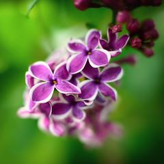 Starburst Lilacs (Tony Hochstetler) Tags: nikon nikon50mmf14 d800e flowers floral lilacs starburst colorado square bokeh