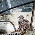 Baby Boat Gull thumbnail