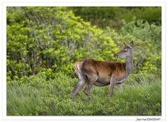 Balade écossaise : Biche, ô ma biche ! (C. OTTIE et J-Y KERMORVANT) Tags: nature animaux mammifères cervidés biche mull ecosse
