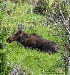Claming To Be Italian... (ac4photos.) Tags: moose nature wildlife animal colorado rmnp naturephotography wildlifephotography animalphotography nikon d500 tamron150600mm ac4photos ac