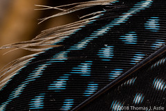 Guinea Fowl Feather (Tom's Macro and Nature Photographs) Tags: macrophotography feather blue birds mozambique gorongosa africa guineafowl