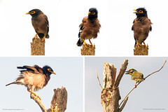 Angry Birds (Phuketian.S) Tags: bird watching common myna indian mynah animal sturnidae thailand asia fun funny acridotheres tristis disheveled angry sky tree birdwatching