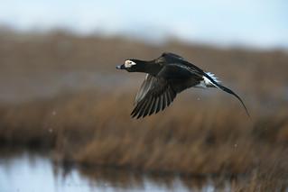 harelde kakawi / long-tailed duck flight shot