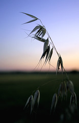 Evening gone to seed (wit) Tags: summer oats rural sunset dusk england fv5
