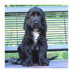 Sir Owen de l'étang au miroir (2 mois et demi) (mibric) Tags: cocker spaniel dog